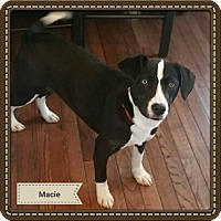 Adopt A Pet :: Macie - Willingboro, NJ