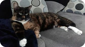 Domestic Shorthair Cat for adoption in Encinitas, California - Sunshine (Courtesy Listing)
