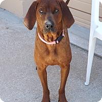 Redbone Coonhound Mix Dog for adoption in Nixa, Missouri - Gracie #882째