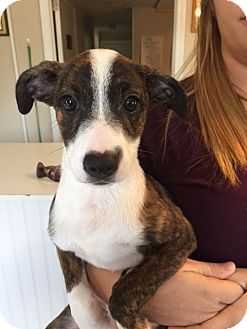 Boston Terrier Mix Puppy for adoption in Powder Springs, Georgia - Shelby