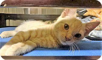 Domestic Shorthair Kitten for adoption in Bruce Township, Michigan - Apricat