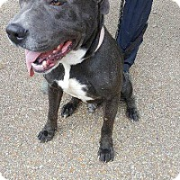 American Pit Bull Terrier Mix Dog for adoption in Livingston Parish, Louisiana - Doug2