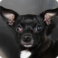 Adopt A Pet :: Pippy (Spayed) - Marietta, OH