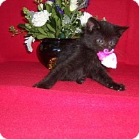 Adopt A Pet :: Cubchoo-Born August 2016 - Taylor Mill, KY