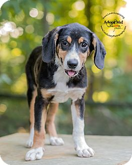 Beagle Mix Puppy for adoption in Cincinnati, Ohio - Will