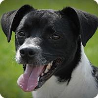 Chihuahua Mix Dog for adoption in Wilmington, Ohio - Simon