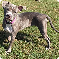 American Staffordshire Terrier/American Bulldog Mix Dog for adoption in Jacksonville, North Carolina - Elaine