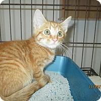 Domestic Shorthair Kitten for adoption in New Smyrna Beach, Florida - Charlie