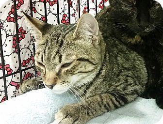 Domestic Shorthair Kitten for adoption in Colmar, Pennsylvania - Bobbi -Adoption Pending!