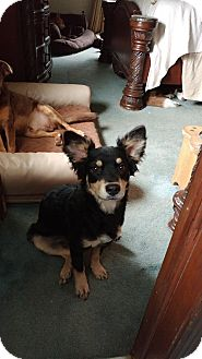 Border Collie/Poodle (Miniature) Mix Puppy for adoption in Flemington, New Jersey - Kade
