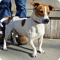 Jack Russell Terrier/Basset Hound Mix Dog for adoption in Sweetwater, Tennessee - Fido