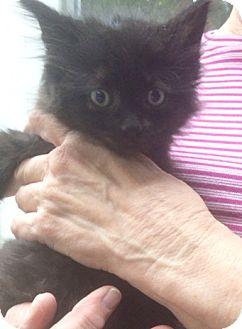 Domestic Longhair Kitten for adoption in Devon, Pennsylvania - Jolly