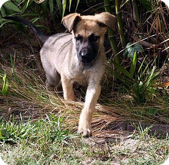 German Shepherd Dog/Australian Shepherd Mix Puppy for adoption in Downey, California - Kyra