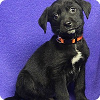 Adopt A Pet :: BRYANT - Westminster, CO
