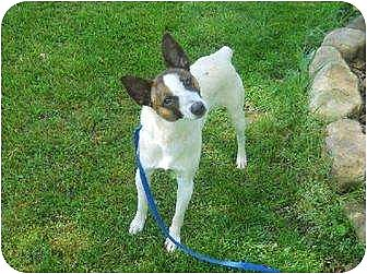 Jack Russell Terrier/Rat Terrier Mix Dog for adoption in Columbia, Tennessee - Gerald