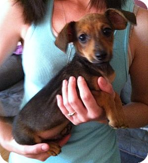 Dachshund Mix Puppy for adoption in Indian Trail, North Carolina - Monster