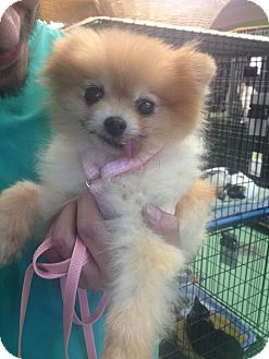 Pomeranian Dog for adoption in New York, New York - Whitney