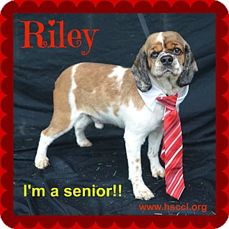 Cocker Spaniel Mix Dog for adoption in Plano, Texas - Riley