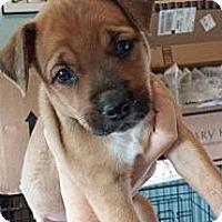 Adopt A Pet :: Scout - Williston, FL