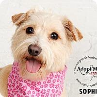 Adopt A Pet :: Sophie-adoption pending - Omaha, NE