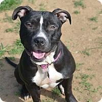 Adopt A Pet :: Mandy (foster care) - Philadelphia, PA