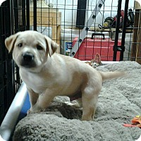 Adopt A Pet :: Lewis - Westminster, MD