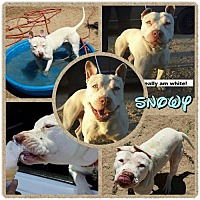 Adopt A Pet :: Snowy - Courtesy Post - Beverly Hills, CA