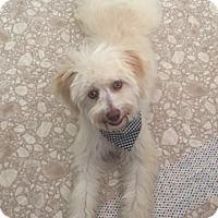 Adopt A Pet :: Raider - Las Vegas, NV