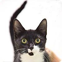Adopt A Pet :: Yin - Merrifield, VA