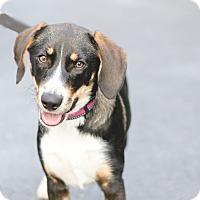 Adopt A Pet :: Cassidy - Jupiter, FL