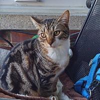 Adopt A Pet :: Tigger - Bronx, NY