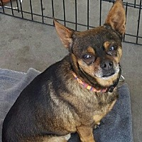 Chihuahua Mix Dog for adoption in Goodyear, Arizona - Gonzo