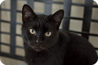 Domestic Shorthair Cat for adoption in Wilmington, Ohio - Nikki