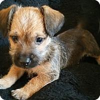Adopt A Pet :: Mac-Fostered in KC - Bridgeton, MO