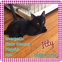 Domestic Shorthair Kitten for adoption in Enid, Oklahoma - Itty