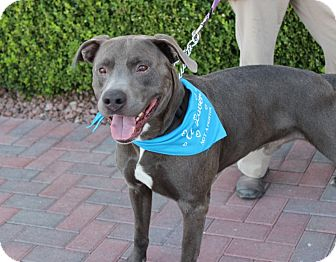Weimaraner/Labrador Retriever Mix Dog for adoption in Las Vegas, Nevada - SOLDIER