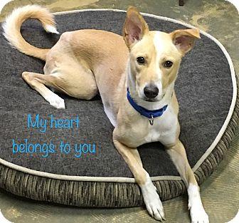 Basenji/Basenji Mix Dog for adoption in Alexandria, Virginia - Maxx