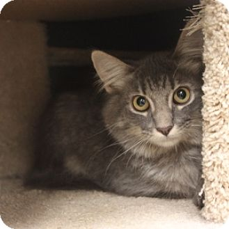 Domestic Mediumhair Kitten for adoption in Naperville, Illinois - Sansa
