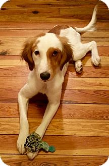 English Setter/Setter (Unknown Type) Mix Dog for adoption in Palm Harbor, Florida - Cooper