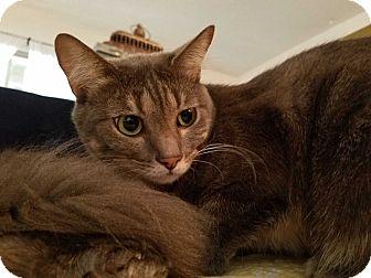 Domestic Shorthair Cat for adoption in Santa Ana, California - Sheila