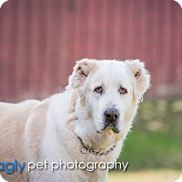 Shepherd (Unknown Type) Mix Dog for adoption in McKinney, Texas - Atlas
