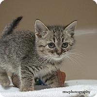Adopt A Pet :: Shortie - Lincolnton, NC