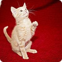 Adopt A Pet :: Sarafina - Norman, OK