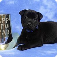 Adopt A Pet :: TALLI - Westminster, CO