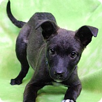 Adopt A Pet :: COCOA - Westminster, CO