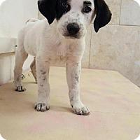 Adopt A Pet :: Scuba Brut - Naples, FL