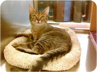 Domestic Shorthair Cat for adoption in Cincinnati, Ohio - Arizona