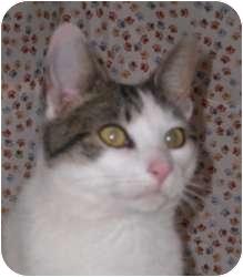 Domestic Shorthair Cat for adoption in Stafford, Virginia - Sam