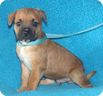 Boxer/Boston Terrier Mix Puppy for adoption in Phillips, Wisconsin - Astro