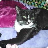 Adopt A Pet :: Mittens - Colmar, PA